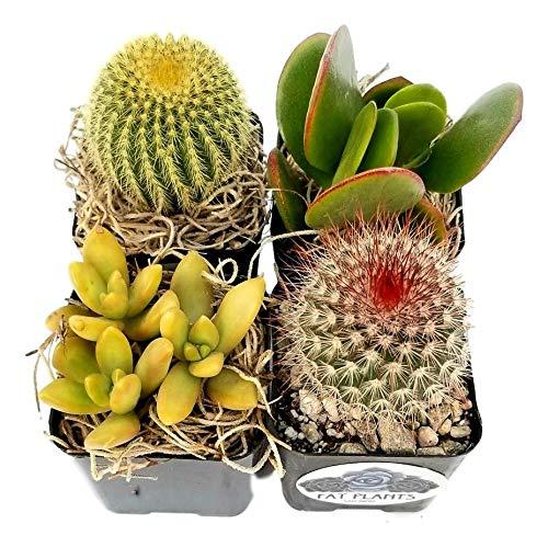 Fat Plants San Diego Miniature Flowering Cactus and Succulent Plant Collection (4)