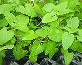 SS0144 Catnip Live Herb Plant Tea Plant Feline Favorite Garden Outdoor Yard Best Gift