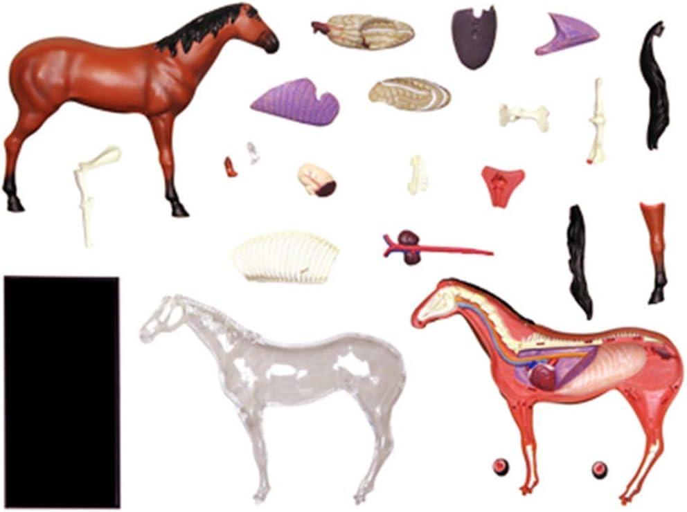 ZYQ Modelo Animal Medico: Modelo anatomico del Caballo: 26 organos Desmontables Partes del Cuerpo Modelo de ensenanza Medica Animal: para Suministros de Laboratorio Educativo