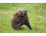 Photographic Print of European Brown Bear playing cubs