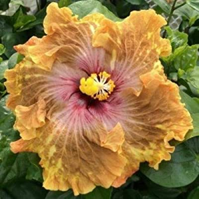 AchmadAnam - Live PlantLEOPARD Rooted Tropical Hibiscus PlantShips in Pot : Garden & Outdoor