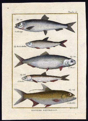 ThePrintsCollector Antique Fish Print-Atlantic Herring-Sprat-Allis SHAD-ANCHOVY-Bonnaterre-1788