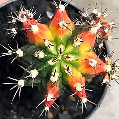 Cactus Plants Gymnocalycium mihanovichii VAR. 4.0 cm.(Rootstock) : Garden & Outdoor