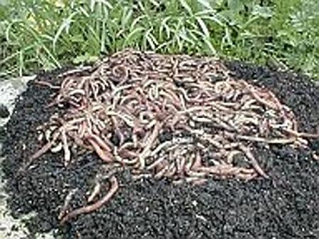 SUPERWURM Gusanos de Compost, Gusanos de jardín, lombrices ...