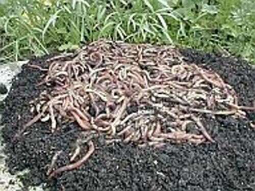 SUPERWURM Gusanos de Compost, Gusanos de jardín, lombrices de Tierra (0, 5 kg): Amazon.es: Jardín