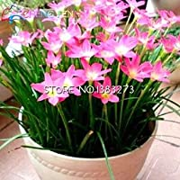 Semillas 50pcs mucho Zephyranthes candida (cebolla de bulbo de la orquídea) Mini Fácil Plantar Balcón Diversión cubierta de la semilla macetas de flores