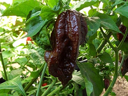 Black Naga Pepper Seeds. 30+ Fresh organically Grown Seeds