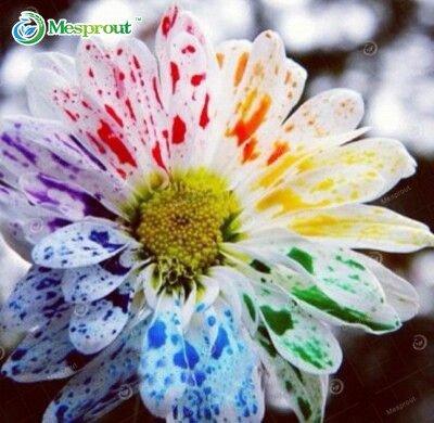 New Arrival! 100pcs/bag Rainbow Daisy Seeds, Rainbow Chrysanthemum, Bonsai Flower seeds, Natural Beautiful Potted Plants for Hom - Rainbow Daisy
