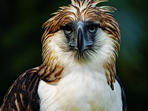Art Silk Fabric Cloth Rolled Wall Poster Print - Eagle Philippines Bird Head Feathers Beak Carnivore - (Size:28x20 Inches) (Philippine Eagle)