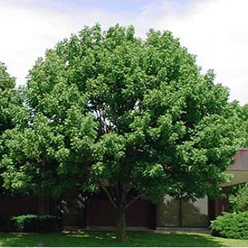 100 White Ash Tree Seeds, Fraxinus Americana,- Limits
