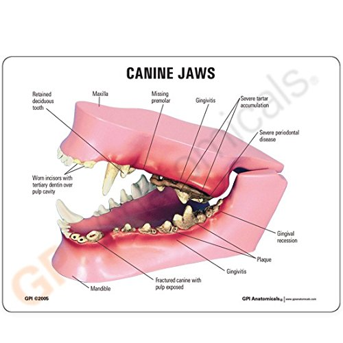 Canine/Dog Jaw Anatomical Model