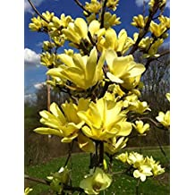1 Yellow Bird Magnolia