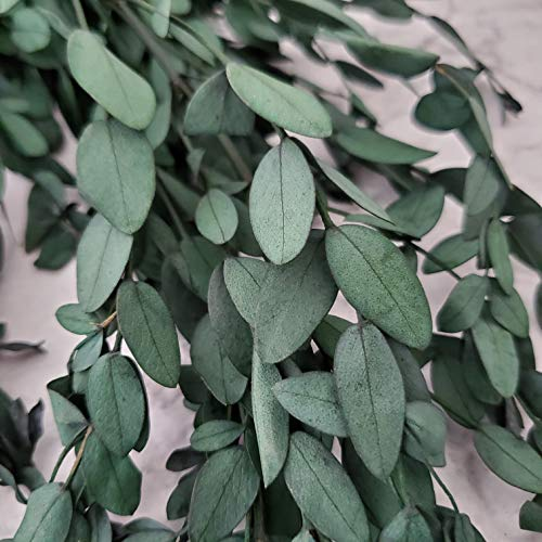 Belle Fleur Preserved Real Eucalyptus Branches, Dried Eucalyptus Stems for Flower Arrangements Wedding Home Decor