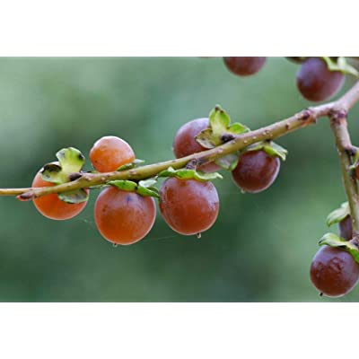 10 Tree Seeds Date Plum (DIOSPYROS Lotus) : Garden & Outdoor