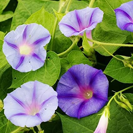 Amazon com : Morning Glory Seeds - Caprice - Packet, Summer/Pale