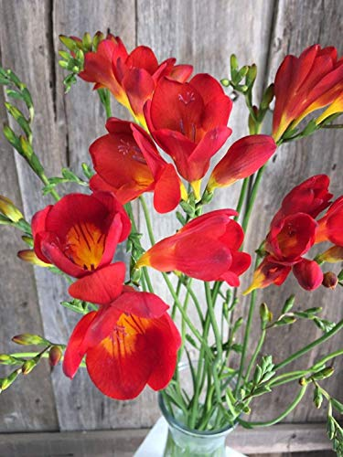 (10) Red Freesia Bulbs Rich Aroma Charming Guarantee Flowers Beauiful Decoration Easy to Plant Potted Balcony Desktop Park Open Field Fragrant Bonsai