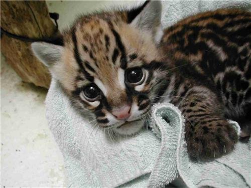 Baby Leopard Pictures - 1
