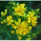 goldenrod, SHOWY, PERENNIAL YELLOW, 280 seeds! GroCo