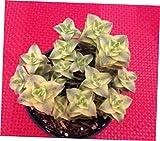TEE 1 Bare Root Small Succulent Plant. Crassula Perforata Variegata - RK79