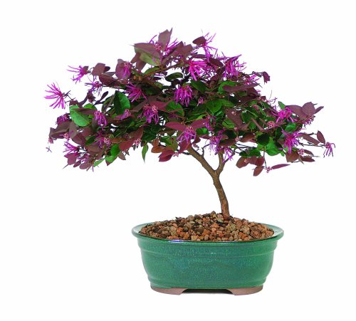 brussels-dt8045ff-fringe-flower-bonsai