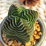 Live Fat Succulent Plant Mini Succulents (Crassula cv. Buddha'S Temple)