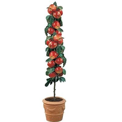 Dwarf Apple Seeds - GALA - Miniature Apple Tree - Indoor or Outdoor - 10 Seeds : Garden & Outdoor
