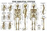 Skeletal System Anatomical Chart - LAMINATED - Human Skeleton Poster 18 x 27 (Horizontal)