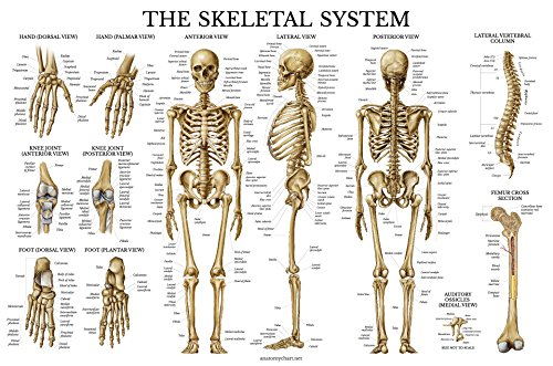 Amazon.com: Skeletal System Anatomical Chart - LAMINATED - Human ...