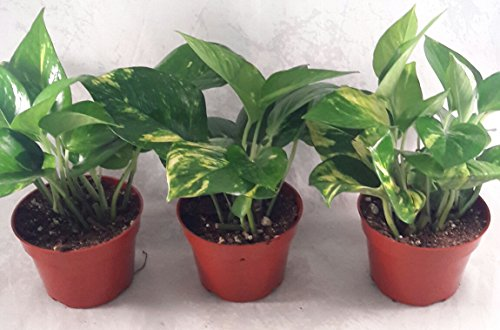 Top golden pothos plant for 2020