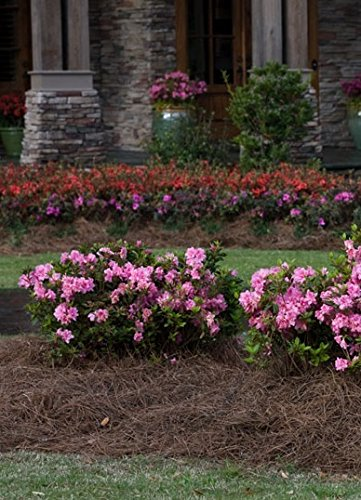 1 Gallon - Encore Azalea Autumn Carnation - Blooms in Spring Summer and Fall with Hot Pink Flowers - Live Plants