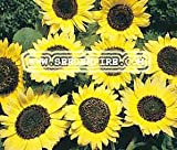 SUNFLOWER LEMON QUEEN Helianthus Annuus --- 20 Flower Seeds