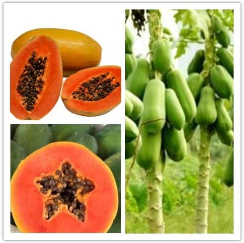 semillas de vegetales orgánicos Kalash Nuevas 30 PC de la papaya ...
