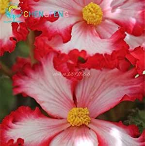 100 Begonia Seeds Flower Seed 2016 New Plants Flowers Bonsai Home & Garden Potted Plant Indoor Air Purification