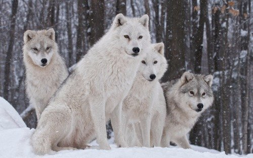 BEAUTIFUL WHITE WOLF GLOSSY POSTER PICTURE PHOTO snow wolves pack