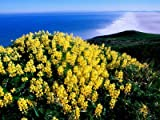 Tree Lupine at Point Reyes National Seashore, Marin County, California Photographic Poster Print by John Elk III, 18x24