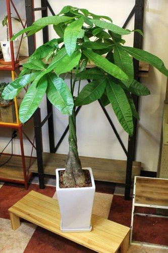 ご自宅、事務所のインテリアに観葉植物 パキラ 陶器鉢入 高さ約90cm 引越し祝い インテリア グリーン B00J9KV7GS