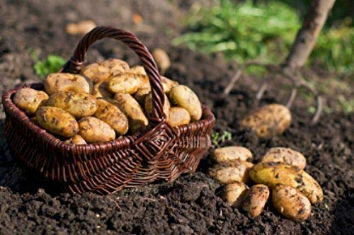 Details About 5 lb. Seed Potatoes - Irish Cobbler Organic Grown Non GMO Chemical Free