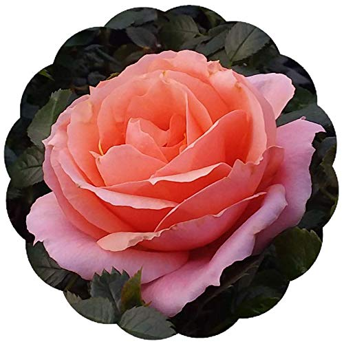 Stargazer Perennials Apricot Candy Rose Plant Potted - Fragrant Peach Apricot Flowers All Summer! | Own Root Easy To Grow