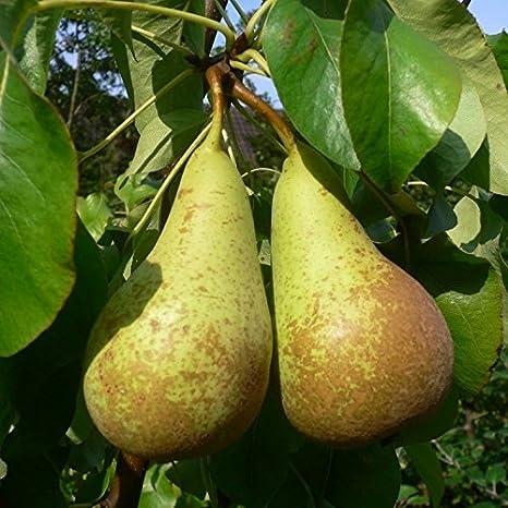 Gute Luise Birne Birnenbaum Obstbaum 120//150 cm Busch 7,5 L Topf süß säuerlich
