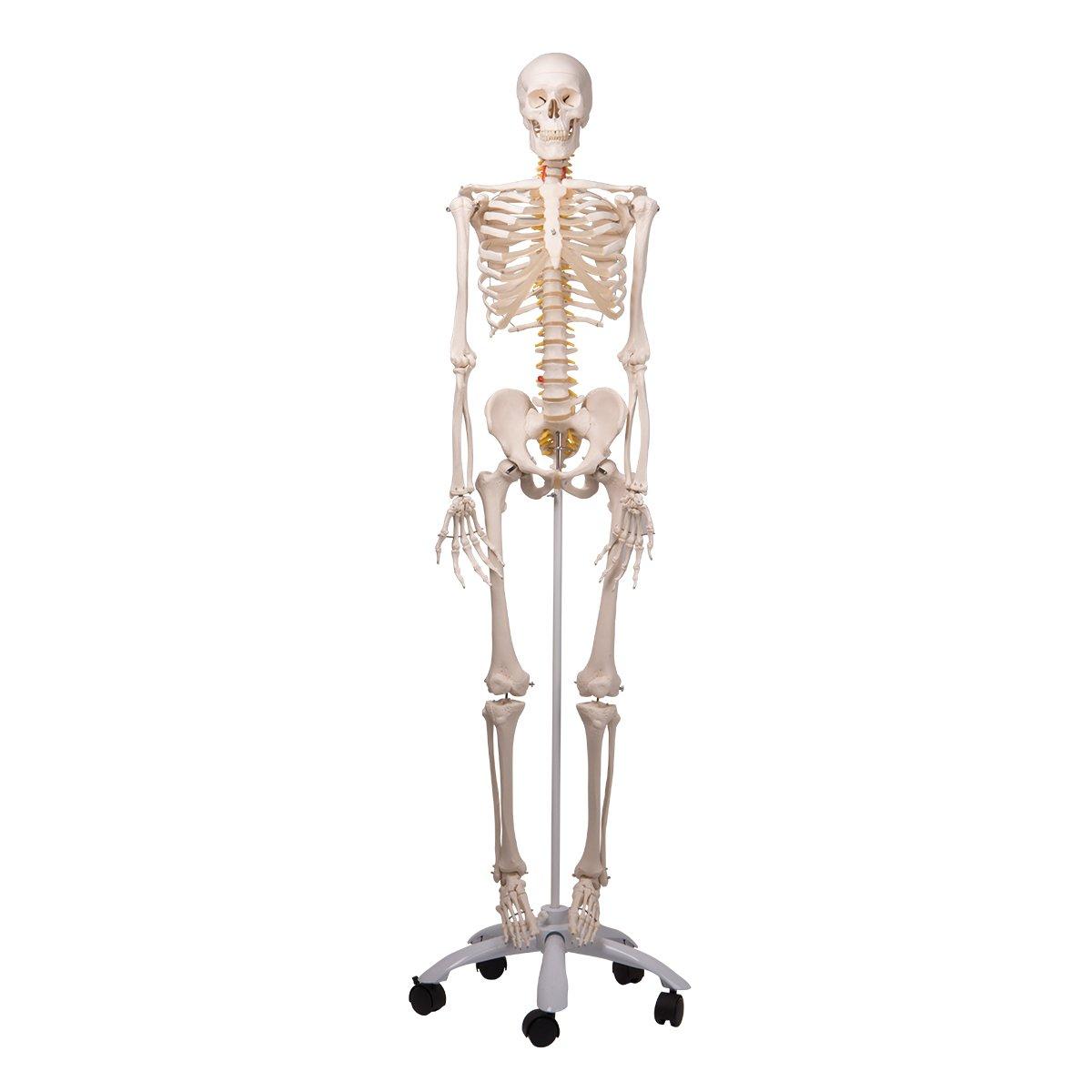 脊柱可動型 全身骨格模型 フレッド骨格モデル,直立型スタンド仕様   B001N4QTIE