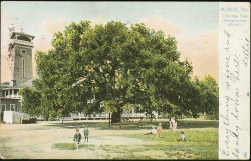 Live Oak Tree (Tuck series) (Mobile Alabama vintage Postcard) - Series 2355