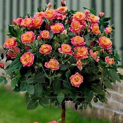 Amazon 50 Purple Chinese Rose Tree Bonsai Seed Red Rose Tree