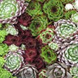 Outsidepride Sempervivum Hybridum - 1000 Seeds