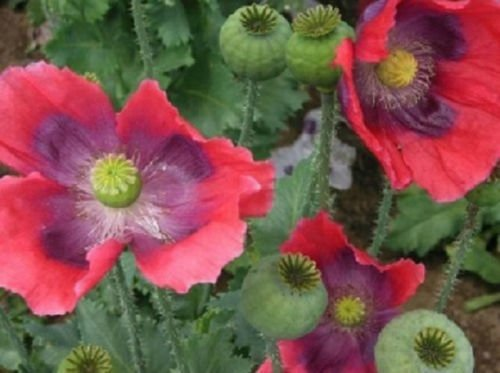 Hen and Chickens Poppy 250 Seeds Beautiful Flowers for Your ()
