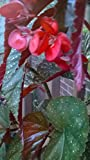 """Begonia with Large Leaves 12"""" Tall Plant with no container"""