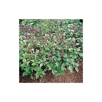 Basil Cinnamon Great Herb 200 Seeds : Flowers : Garden & Outdoor