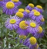 Fleabane daisy 1000 seeds Erigeron speciosus Showy Garden perennial CombSH