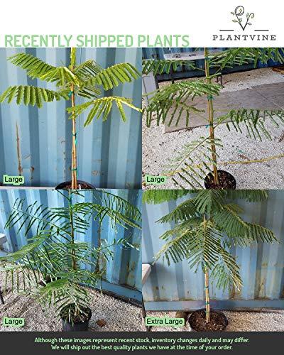 PlantVine Delonix regia, Royal Poinciana, Flamboyant Tree, Flame Tree - Extra Large, Bush - 12-14 Inch Pot (7 Gallon), Live Plant by PlantVine (Image #1)