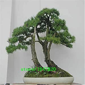SAGRADO cedro japonés - 20 PCS semillas Semillas bonsai