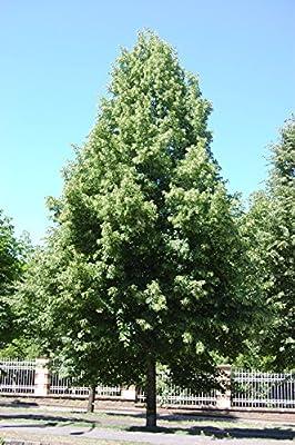 50 Seeds of Little-leaf Linden Tree